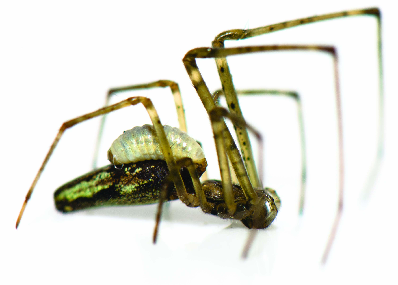 Araignée zombie