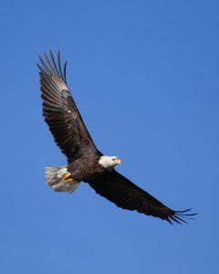 Un aigle attaque… vraiment?