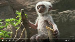 Un robot singe sème l'émoi dans une colonie de langurs [VIDÉO]