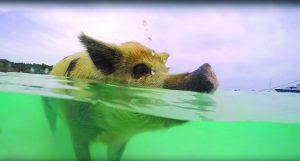 Des cochons à la mer [VIDÉO]