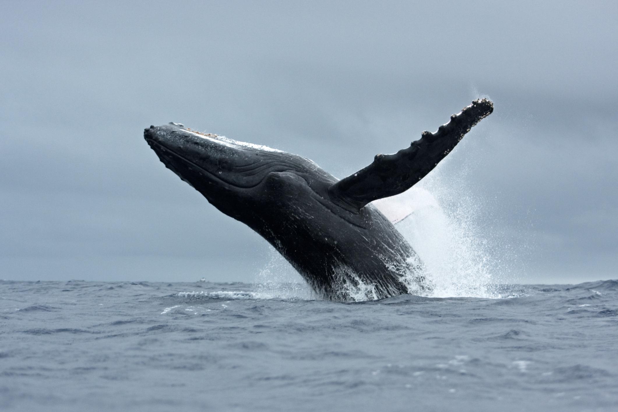 Braconnage de baleines