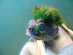 Cette tortue punk qui respire par les fesses est menacée