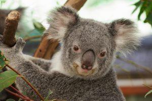 Les koalas en voie de disparition