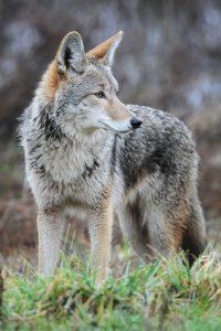 16 coyotes pour un manteau !